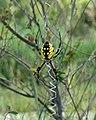 Argiope aurantia Yellow Garden Spider.jpg