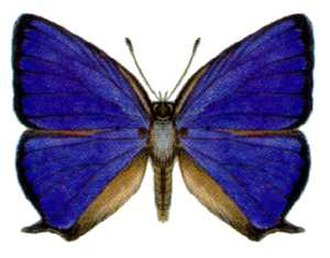 Arhopala - Bright oakblue (Arhopala madytus: centaurus group)