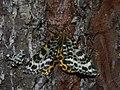 Arichanna melanaria - Пяденица голубичная (27049866758).jpg
