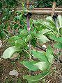 Arisaema serratum var mayebarae1.jpg