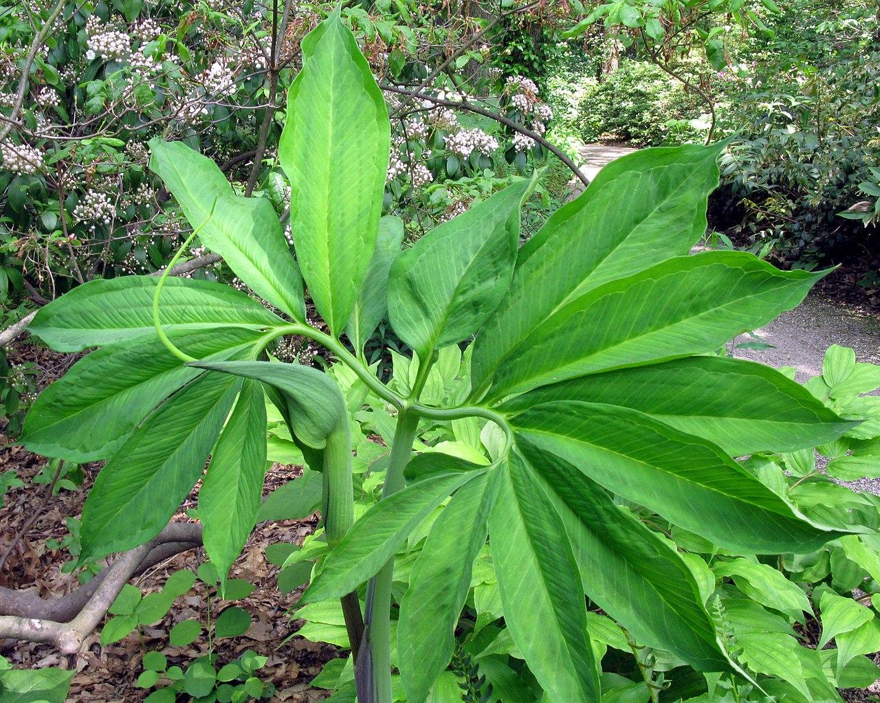 Description de l'image Arisaemadracontium.jpg.