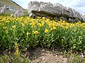 Arnica longifolia (29135004031).jpg