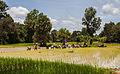 Arrozal, Angkor, Camboya, 2013-08-16, DD 06.JPG