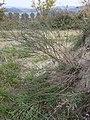 Artemisia campestris sl1.jpg