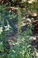 Artemisia douglasiana kz1.jpg