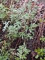 Artemisia frigida 2017-05-07 0142.jpg