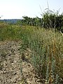 Artemisia pontica sl15.jpg