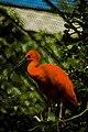 Artis scarlet ibis.jpg