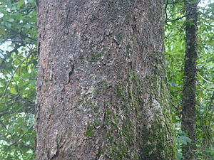 Artocarpus hirsutus - The bark of A.hirsutus