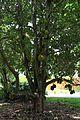 Artocarpus heterophyllus (Jackfruit) (28260497833).jpg
