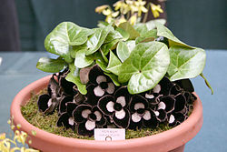 Asarum maximum