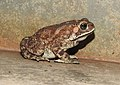 Asian Common Toad Duttaphrynus melanostictus by Dr. Raju Kasambe DSCN6557 (9).jpg