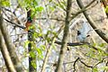 Asian Paradise Flycatcher mating.jpg