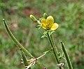 Asian spiderflower (Cleome viscosa) in Anantgiri, AP W2 IMG 8889.jpg