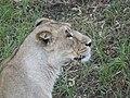 Asiatic Lioness 18.jpg