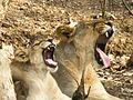 Asiatic lioness with its cub.jpg