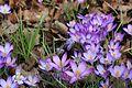 Asparagales - Crocus vernus 25.jpg