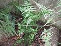 Asparagus setaceus-2-bsi-yercaud-salem-India.JPG
