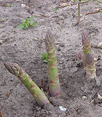Asperges Asparagus officinalis.jpg