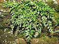 Asplenium montanum clump.JPG