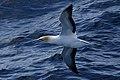 Australasian Gannet (36445327081).jpg