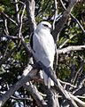 Australian Black-shouldered Kite (Elanus axillaris) - Flickr - Lip Kee.jpg