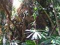 Australian Fan Palm, Dubuji Boardwalk, Cape Tribulation.JPG