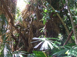 Cape Tribulation, Queensland - Australian Fan Palm. Large circular leaves that resemble an umbrela.