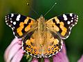 Australian painted lady butterfly 01.jpg