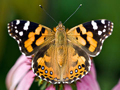 240px australian painted lady butterfly 01