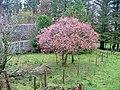 Autumn Cherry at Balnaknock - geograph.org.uk - 602090.jpg