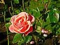 Autumn roses, Botabic Gardens, Belfast (2) - geograph.org.uk - 984803.jpg