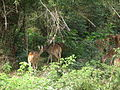 Axis axis - spotted deer - chital - from Bannerghatta National Park 8432.JPG