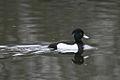 Aythya fuligula -Rutland Water, Rutland, England -male-8.jpg