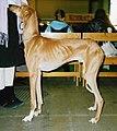 Azawakh aka African Greyhound.jpg