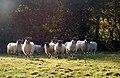 Backlit sheep posing near Ufton - geograph.org.uk - 1556426.jpg