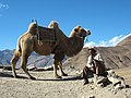 Bactrian camel in 2006 Tibet - Único camello de Tibet.jpg