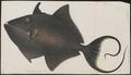 Balistes erythrodon - 1700-1880 - Print - Iconographia Zoologica - Special Collections University of Amsterdam - UBA01 IZ15400113.tif