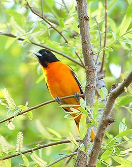 Baltimore oriole male.jpg