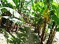 Banana trees Ethiopia (1).jpg