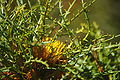 Banksia horrida gnangarra 02.JPG