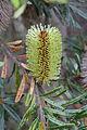 Banksia marginata (DS WS SA) 71B2.JPG