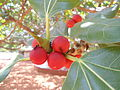 Banyan Ficus benghalensis fruit IGZoo park Visakhapatnam.JPG