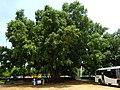 Banyans near Savandurga 5.jpg
