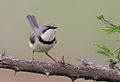 Bar-throated Apalis, Apalis thoracica, at Marakele National Park, Limpopo, South Africa (16216636110).jpg