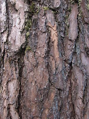 Pinus kesiya - Bark of Benguet pine