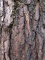 Bark of Benguet Pine.JPG