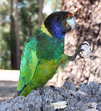 Barnardius zonarius -Mundaring Weir, Western Australia -eating-8