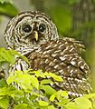 Barred Owl - Strix varia, Carderock Recreation Area, Chesapeake and Ohio National Historic Park, Carderock, Maryland.jpg