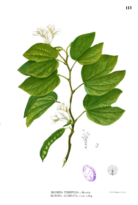 Bauhinia acuminata Blanco1.111